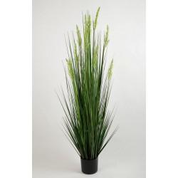 Zwiebelgras, 120cm