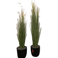 Schilfgrass
