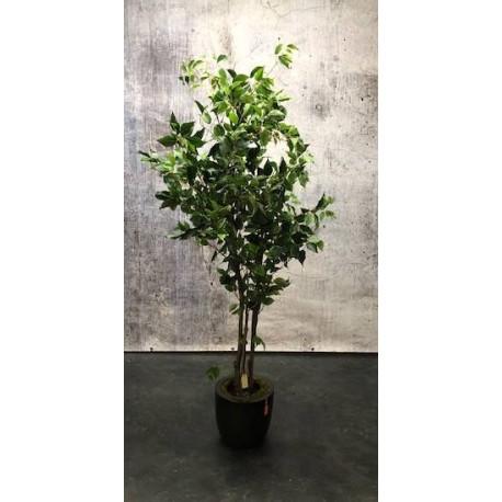Ficus Benjamini 180cm