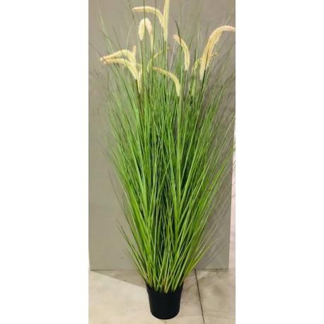 Pfeifenziehergrass